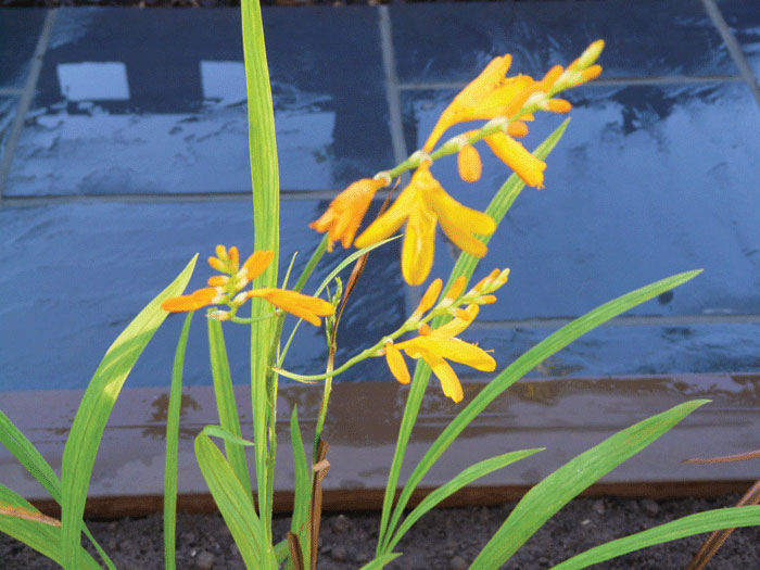 Image of Crocosmia George Davison