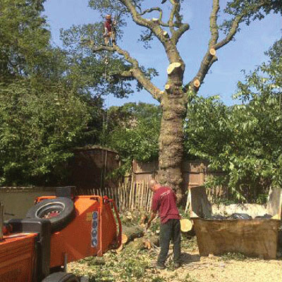 Image of tree Pollarding and felling
