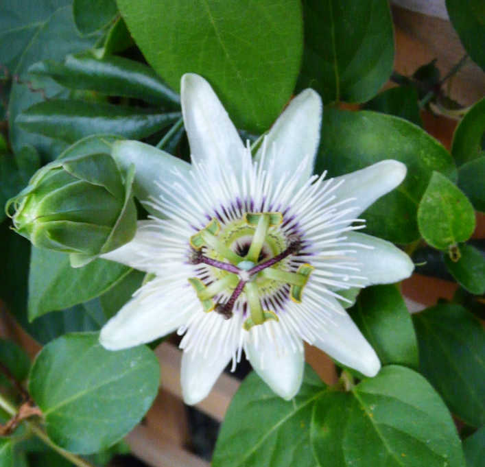 White passion flower in bloom